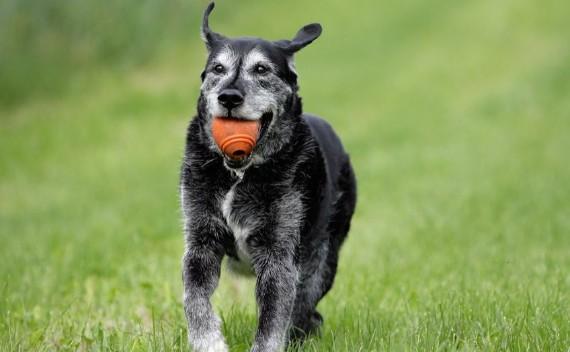 l-arthrose-chez-le-chien